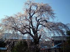 治郎左ヱ門の枝垂れ桜