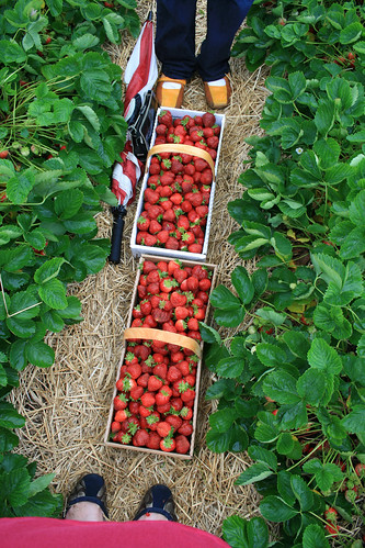 June's Rosy Joy: Strawberry Picking