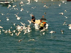 Feeding Frenzy (saxonfenken) Tags: sea men water work boat fishing cornwall gulls thumbsup nets stives 810 e510 gamewinner friendlychallenge june2009 pregamewinner 810people