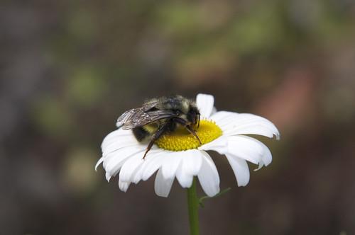 Shasta Daisy -- Leucanthemum x superbum