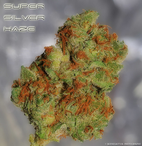 © BodhiSativa Photography - Super Silver Haze - High Times Cannabis Cup Winner 97-99