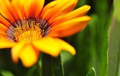 gazagna (David DIzerens) Tags: flowers macro nikon d90 123nature macrolife unenaturepure gazagna