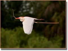 Egret W:Nesting Material (billkominsky ) Tags: color bird nature birds cattle wildlife breeding wetlands naturesbest egrets plummage wowiekazowie thenaturegroup yagottastartsomewhere wakohatchee