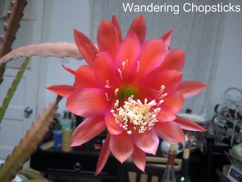 5.11 Pink Night-Blooming Cereus 2