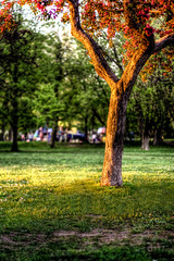 Holy Tree (Billy Wilson Photography) Tags: park ontario canada tree grass digital canon eos rebel 50mm spring dof bokeh foliage bark xs f18 soo hdr highdynamicrange goldenhour appletree fruittree saultstemarie northernontario algoma goldenlight bellevuepark angiosperm holytree shallowdepthoffocus billywilsonphotography saultphotographer