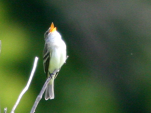Willow Flycatcher 2-20100518