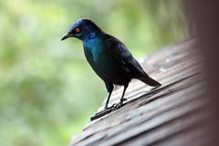 Greater Blue-eared Starling (Lamprotornis chalybaeus) (Kleinz1) Tags: park bird nature southafrica hide krugernationalpark knp lamprotornischalybaeus greaterblueearedglossystarling greaterblueearedstarling sasol canon450d sasolratelpan ratlepan