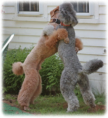 Friendly Poodle Greeting (Higher Standards) Tags: simon spoo poodle judd standardpoodle silverpoodle redpoodle