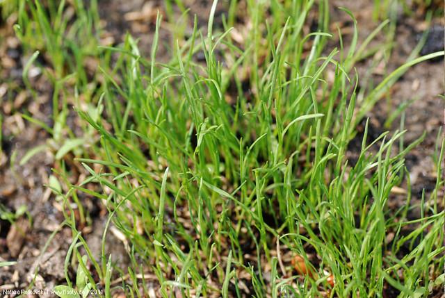 Garden, lawns seed