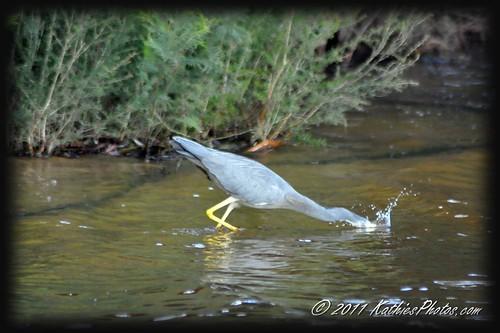 Gotcha!  Heron catching fish