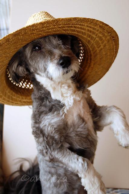 immagine divertente cane con cappello