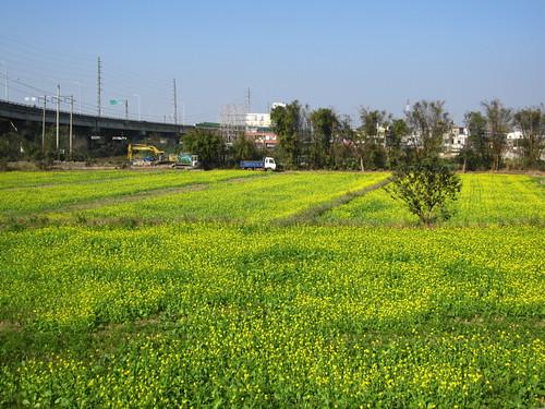 新竹油菜花田
