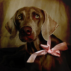dark cherry choco~latte (saikiishiki) Tags: pink portrait brown cute texture love pose dark square cherry interestingness eyes soft chocolate gorgeous velvet explore weimaraner kawaii expressive ribbon satin latte seen silky omoshiroi weim mukha daisuki 20f mywinners thelittledoglaughed anawesomeshot waimarana