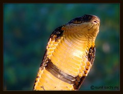 king cobra (disturbedfred) Tags: india coorg madikeri westernghats kingcobra agumbe rainforests ophiophagushannah gonikoppal worldslongestvenomoussnake