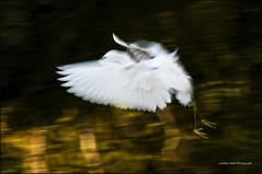 Egret in flight (csmith01964) Tags: white nature beautiful birds flying wings nikon eldorado panning egret visualart 0109 nikond300 elements60 photocontesttnc09