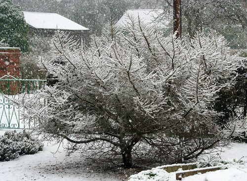 Snow on Dwarf Tree