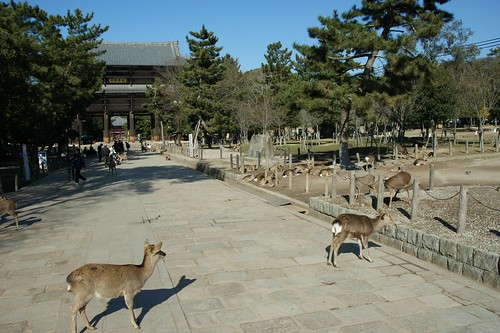 a lot of deers in the Nara Park
