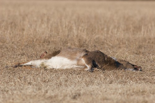 White-tailed Deer Carcass