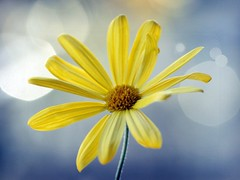 yay for Friday! (~ielle~ ilarialuciani.com) Tags: flower yellow dof bokeh iaia yay giallo friday ila mybest fiore venerd citrit ilarialuciani awesomeblossoms 100commentgroup 365bokeh