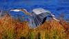 Flying Low (ozoni11) Tags: lake bird heron nature birds animal animals interestingness nikon lakes explore wetlands greatblueheron herons wetland 131 columbiamaryland d300 greatblueherons interestingness131 i500 lakekittamaqundi michaeloberman explore131 ozoni11 vosplusbellesphotos