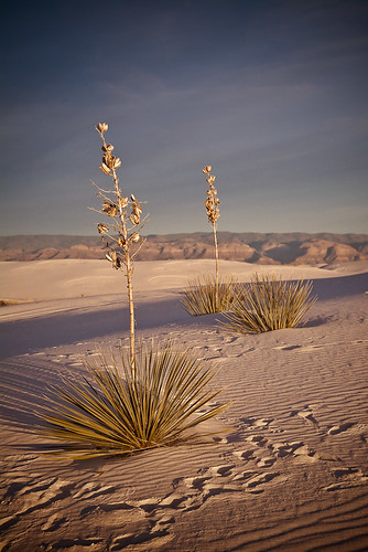 White Sands National Monument - Dunes and Yucca Plants