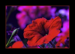 cadrageDSC_2142-2 (claudedelrieu21) Tags: macro nature rouge photography amazing fabulous paysage finest pictureperfect damncool smorgasbord masterclass miltoniopsis blueribbonwinner encarnado supershot amazingtalent amazingshot flowerotica fantasticflower fineartphotos abigfave nikoniste platinumphoto anawesomeshot impressedbeauty flickrbest ultimateshot flickrplatinum superbmasterpiece naturefinest infinestyle diamondclassphotographer flickrdiamond ysplix ilovemypic flickrelite theunforgettablepictures masterph