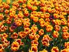 tappeto di tulipani