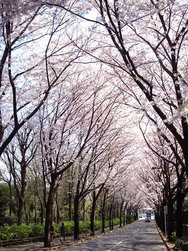 Sakura tunnel
