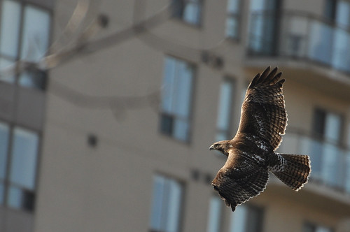 Red-tailed hawk soars past buildings
