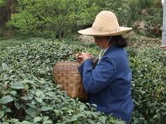 09 Lushan Yunwu tea picking (Chinese Tea lover) Tags: mountain spring tea lushan springtea teapicking yunwu