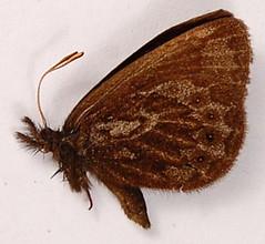 Idioneurula eremita
