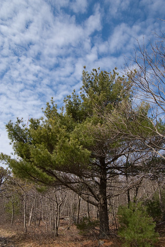 Great Blue Hill pine