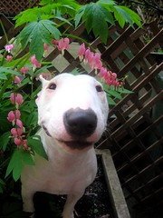 little flowers (sevenbc) Tags: pink flowers dog white flower puppy babe bullterrier englishbullterrier bleedinghearts minibullterrier miniaturebullterrier workofart minibull