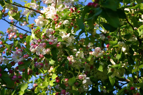 crabapple arbor is in bloom