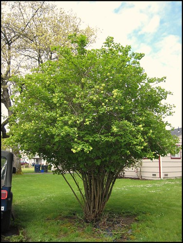 Snowball Tree?