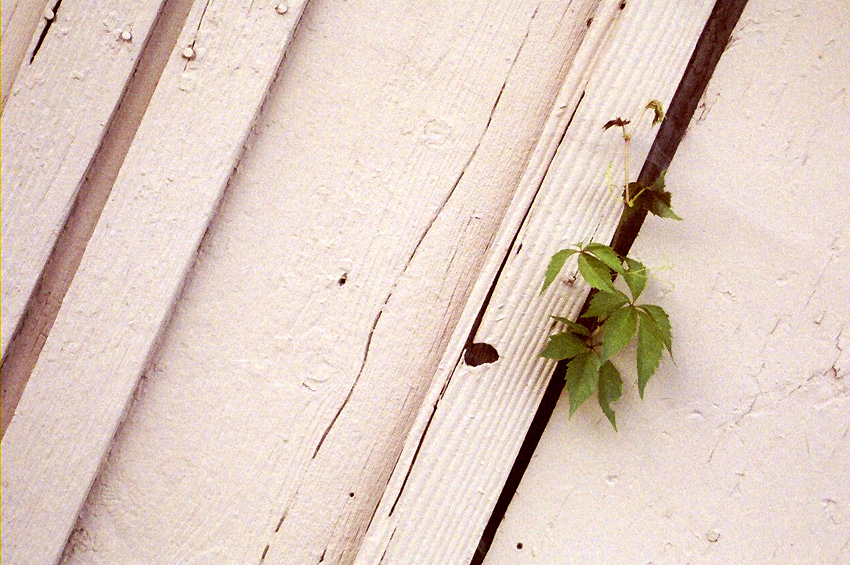 White Wall with Leaf