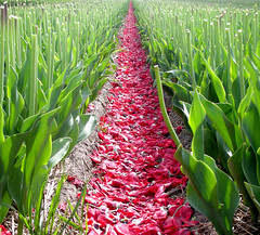 Red carpet (Nijn kijkt...) Tags: flowers sky holland nature colors dutch clouds tulips thenetherlands tulipfield bulbfield colorphotoaward aplusphoto colourartaward flickrcinated
