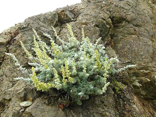 Artemisia californica?