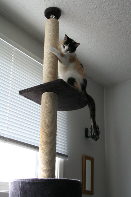 Chloe conquers the cat tree