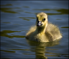 :-) (Kadacat (Marlene)) Tags: yellow geese spring pond fluffy gosling canadagoose avian andrewhaydonpark potofgold specanimal canon40d kadacat