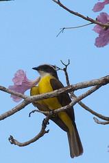 Kiskadee (nosha) Tags: vacation holiday flower tree bird beautiful beauty mexico april 2009 avian lightroom 200mm f13 blackmagic d40 nosha 18200mmf3556 yuccatan april2009 nikond40