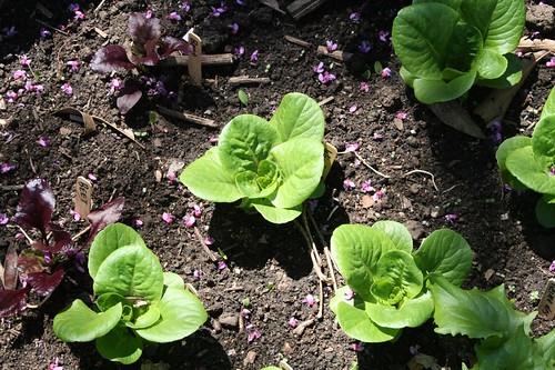 Lettuce & Beets
