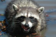 I See Dinner (kparkton) Tags: oregon wildlife raccoon mammals lanecounty