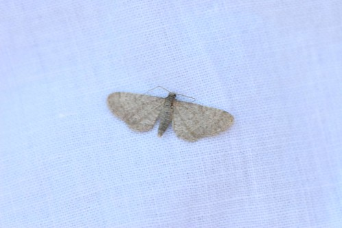 Moth - Can't ID this one - advice welcome