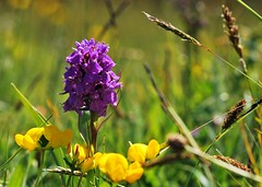 "Southern Marsh Orchid and Birdsfoot Trefoil (Paul ""Razor"" Ritchie) Tags: lotus explore dorset dactylorhiza birdsfoottrefoil corniculatus southernmarshorchid durlstoncountrypark praetermissa paulritchie thelizardwizard"