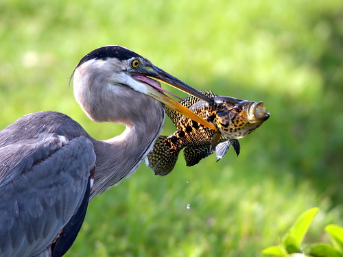 Great Blue Heron Catches Tilapia 20090528