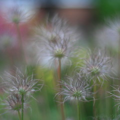 my dream ... (_nejire_) Tags: england plant flower nature canon flora bokeh f14 dream seedhead dreamy pasqueflower carlzeiss pulsatillavulgaris 500x500 greaterlondon 330pm 50faves 10faves 40faves 25faves nejire 400d eos400d canoneos400d fave10 planart50mm fave50 mhashi fave25 fave40 carlzeissplanart1450ze 8138544g950am