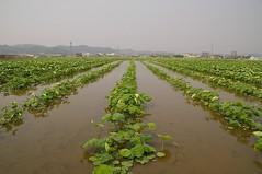 レンコン畑