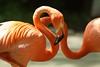 Flamingo Tango (hotes trinkets/DaydreamingKat) Tags: columbuszoo columbus beautiful zoo natural flamingos absolutely nophotoshop closeups bej straightfrommycamera nocolorsadded sonyalphadslra700 70210lens absolutelynatural