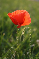 For a great week (DulichVietnam360°) Tags: france flower fleur créteil poppy soe hoa coquelicot abigfave theunforgettablepictures dulichvietnam360 hoamỹnhân mostintesresting